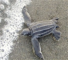 This turtle hatchling is safe, for now