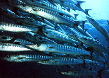 A school of juvenile barracuda near Renggis